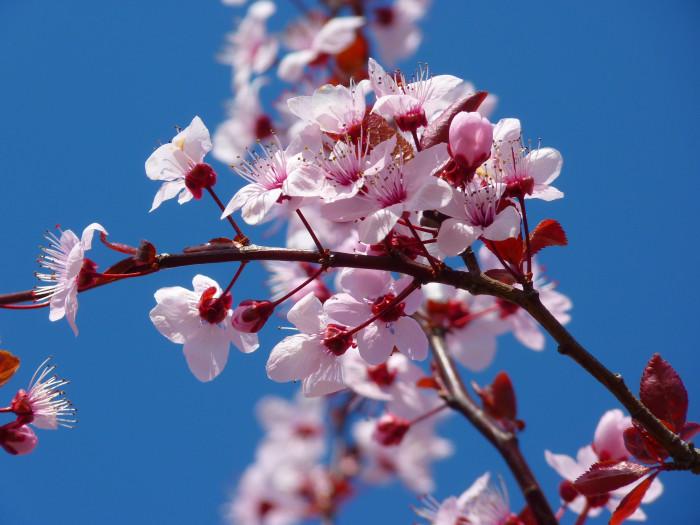 Prunus glandulosa (mandorlo ornamentale)