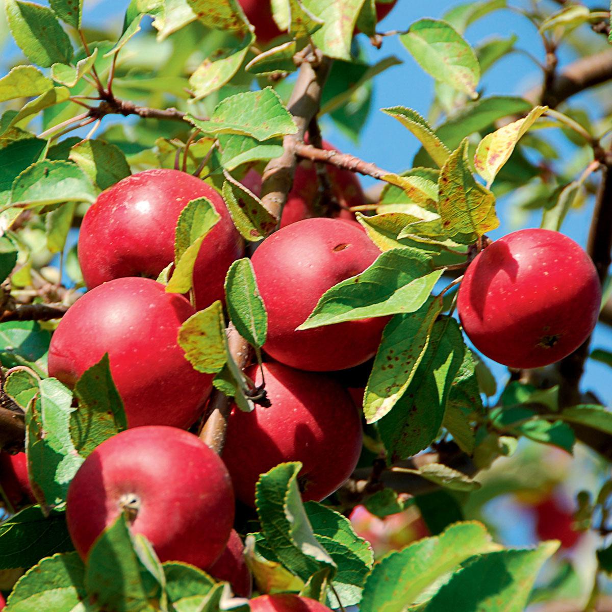 Piante da frutto in pack