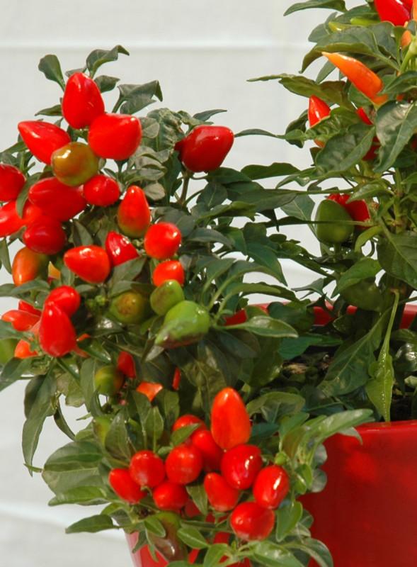 Peppermania: agli italiani piace hot