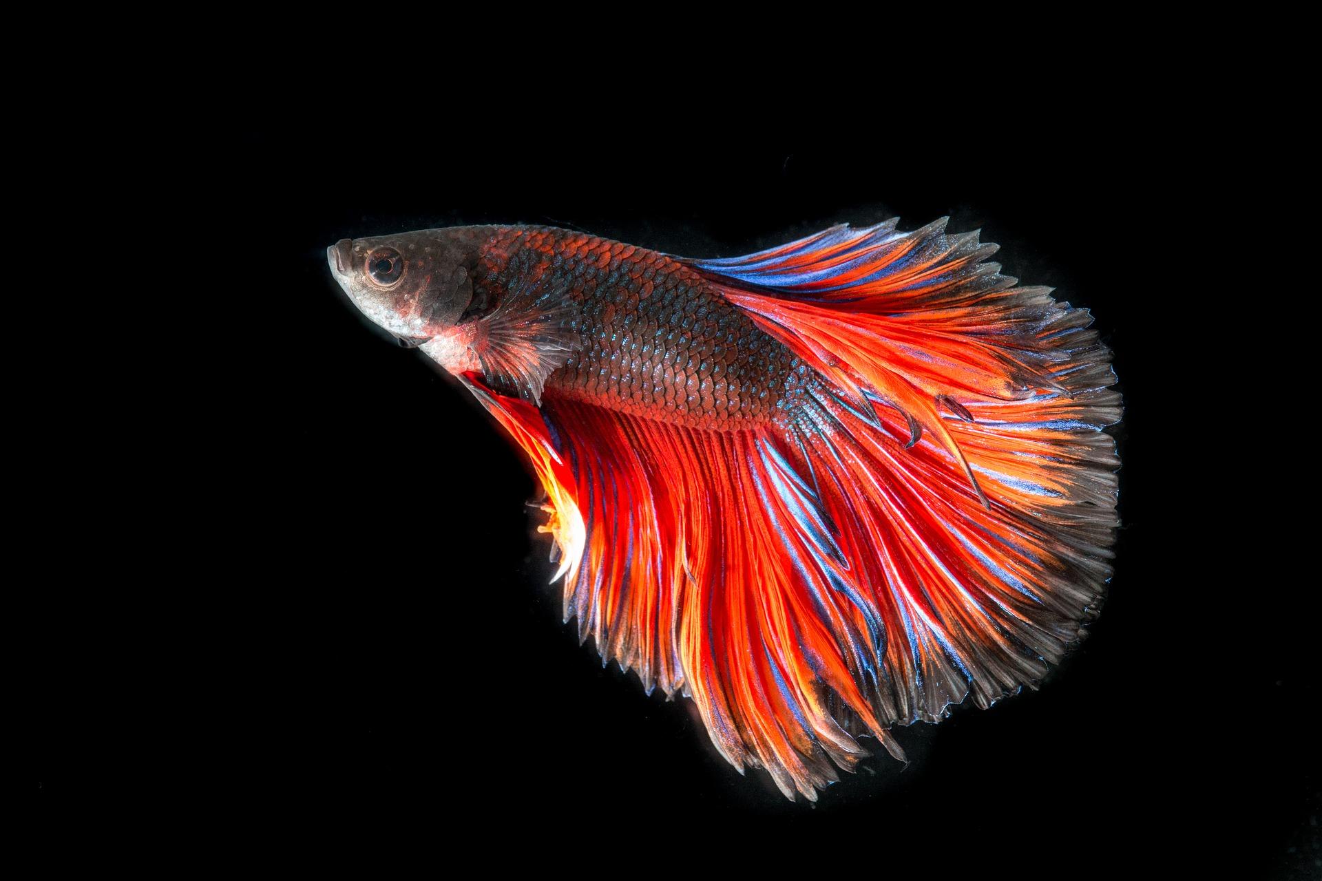 L'oodiniasi o velluto dei pesci da acquario