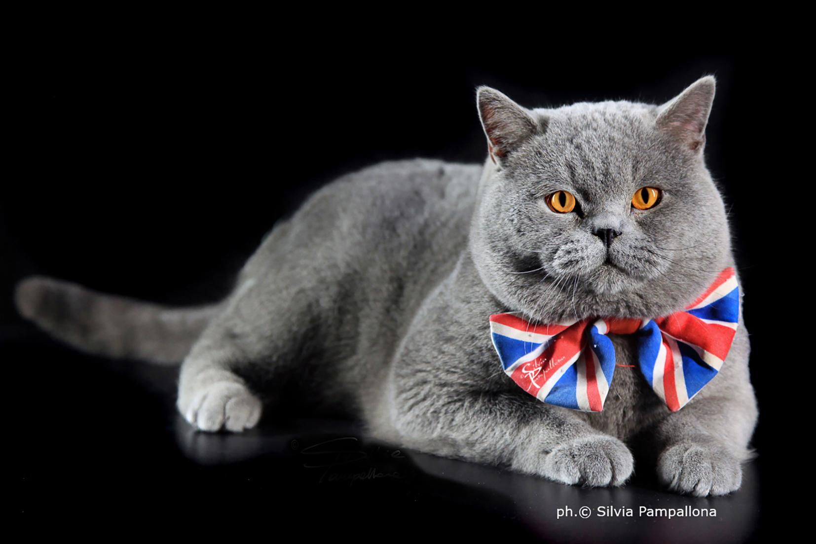 Una giornata tra gatti British e Maine Coone