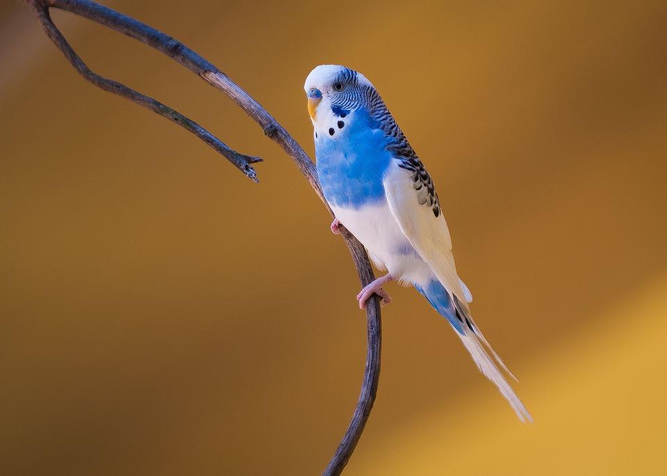 La pododermatite degli uccelli da voliera