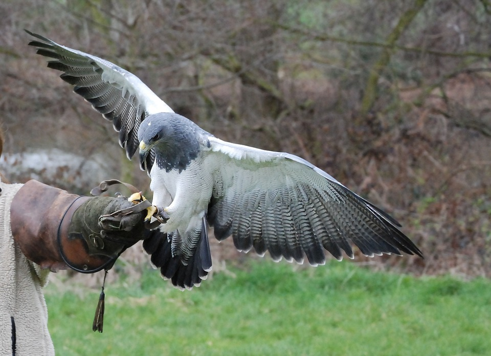 Tipi di rapaci allevabili per falconeria e loro gestione
