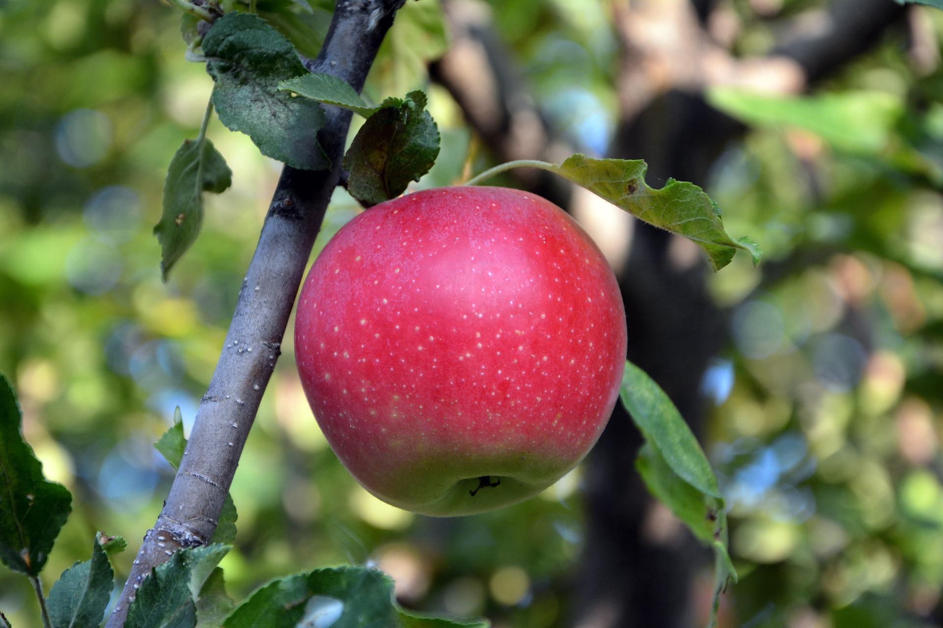 Piante da frutto dell'Oltrepo pavese in mostra
