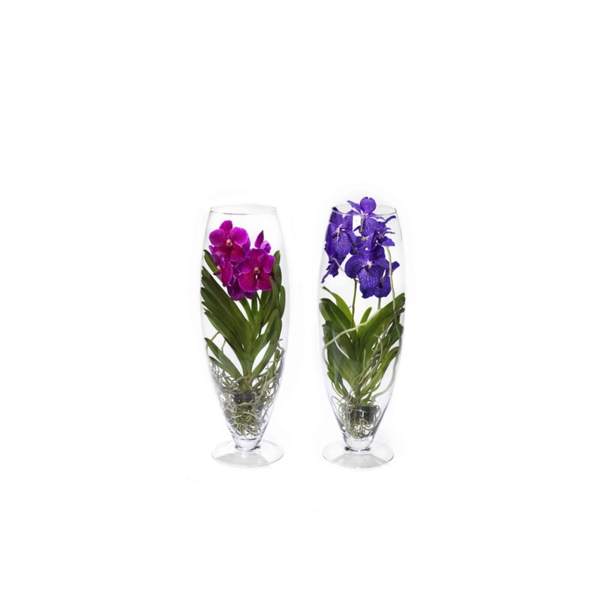 Orchidea Vanda Champagne in vaso di vetro