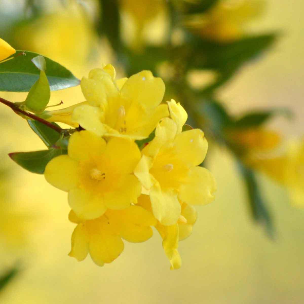Gelsomino giallo (Gelsemium sempervirens)