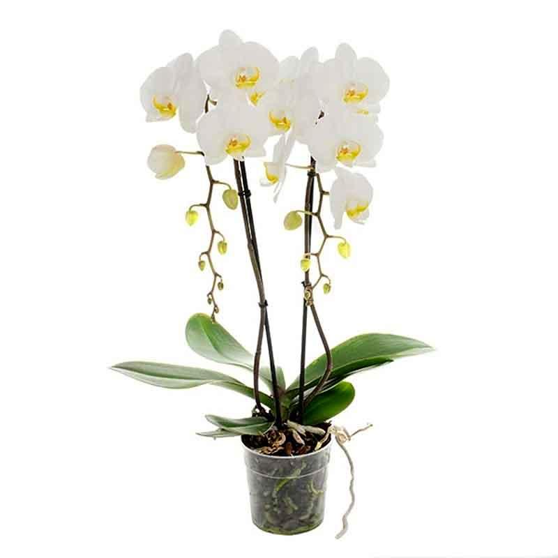 Orchidea Phalaenopsis in varietà a 2 rami