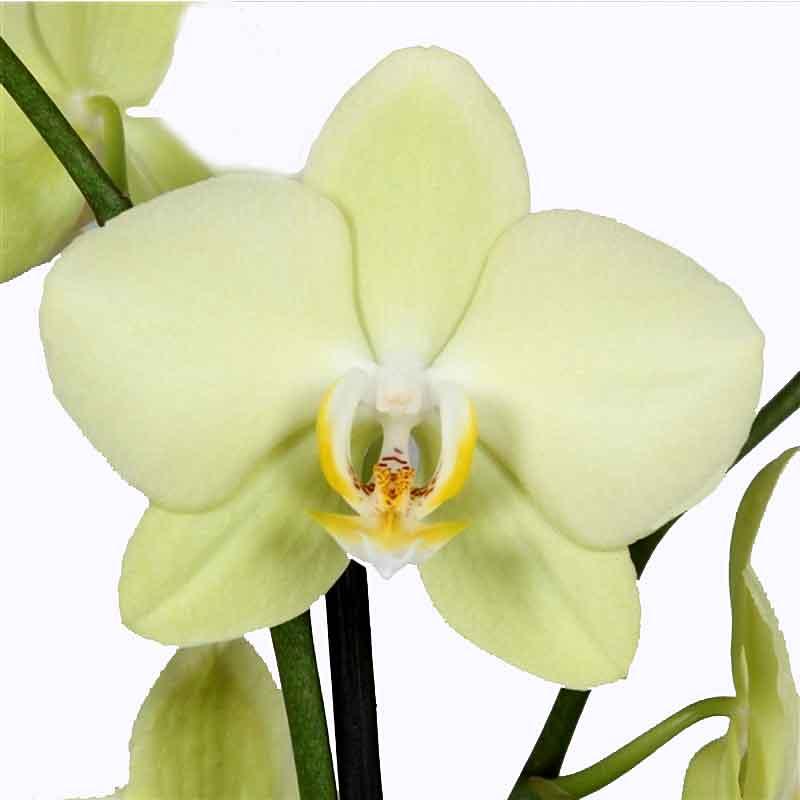 Orchidea Phalaenopsis a 2 rami