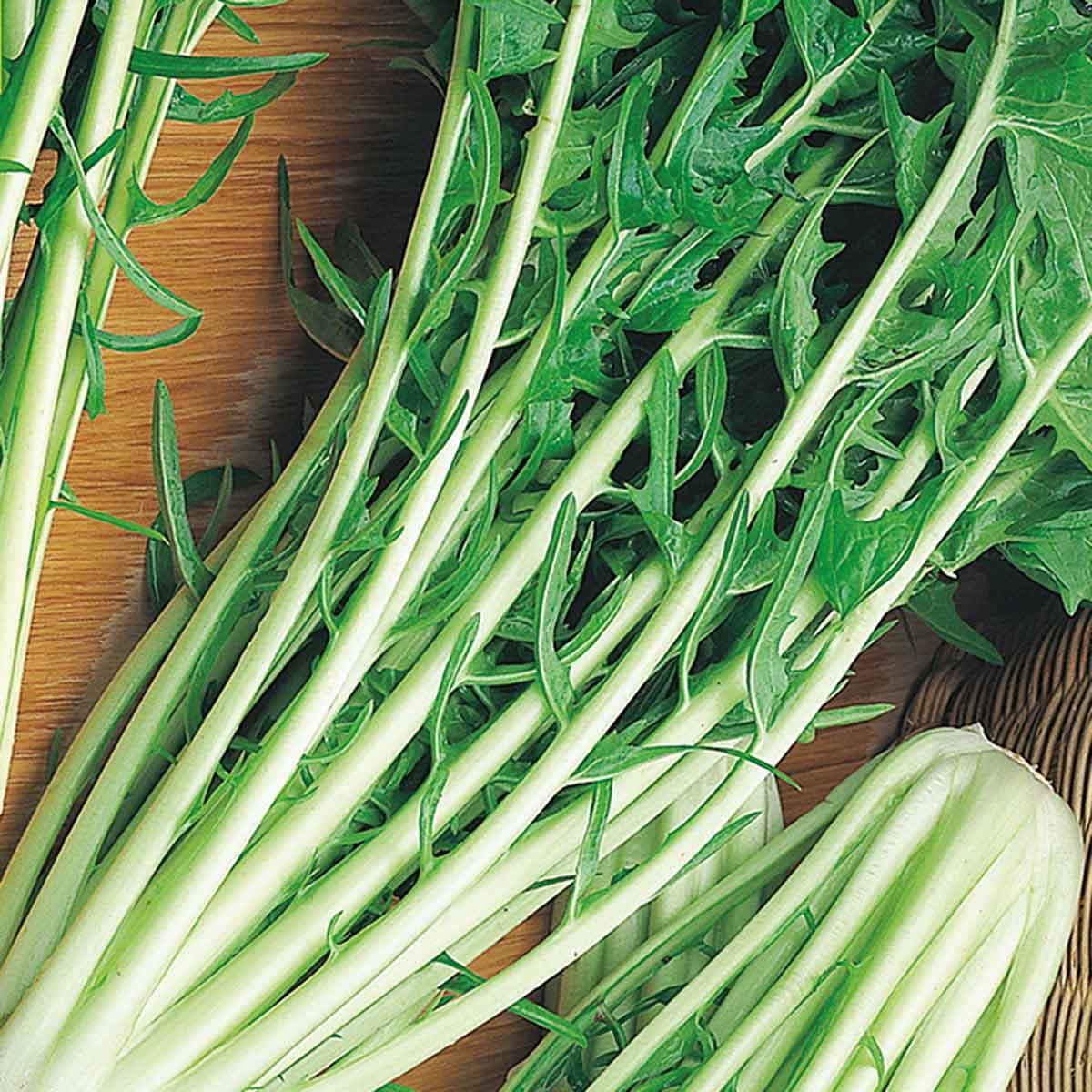 Cicorie e Radicchio catalogna gigante Katrina F1 in pack da 9 piante