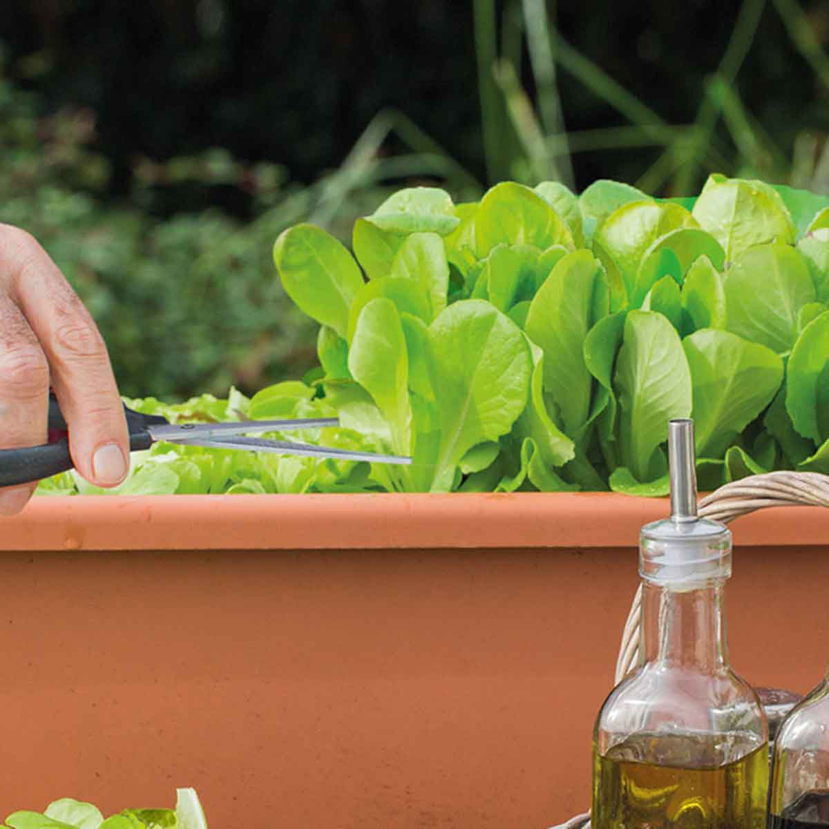Cicoria da taglio Zuccherina di Trieste in pack da 9 piante