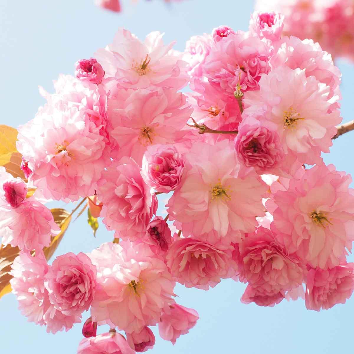Ciliegio da fiore (Prunus serrulata)