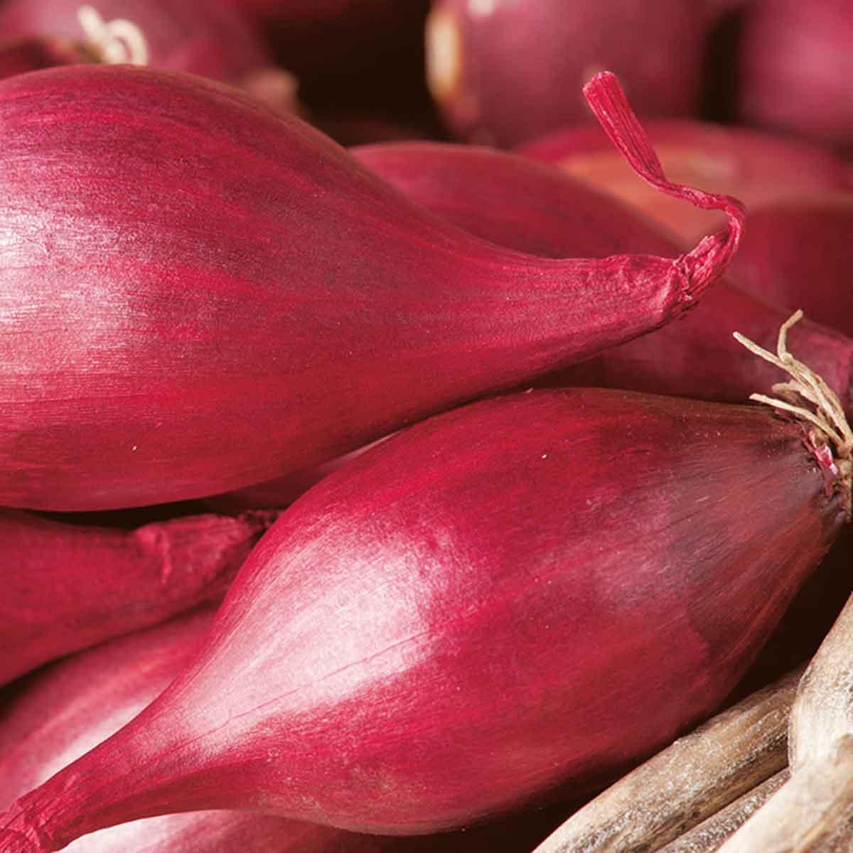 Cipolla tropeana rossa lunga in pack da 12 piante