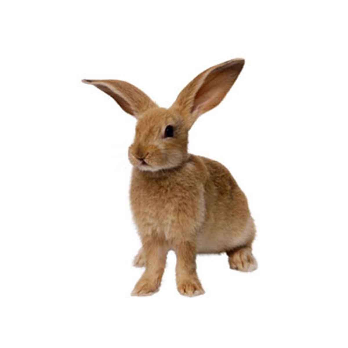 Il coniglio, note generali