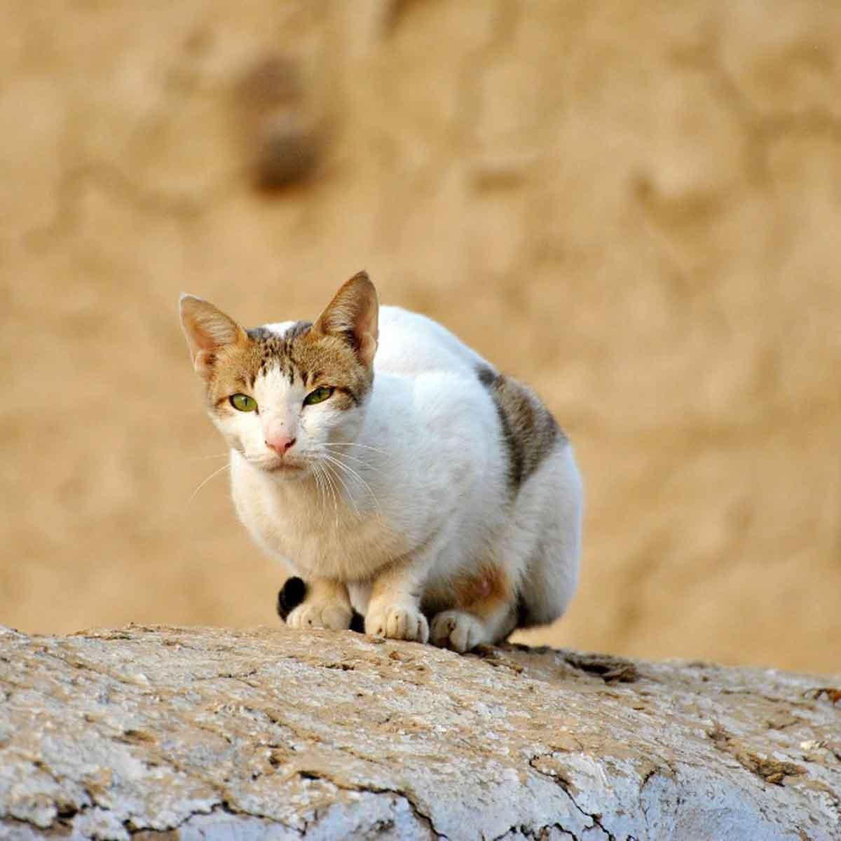 Il gatto, un cacciatore latente