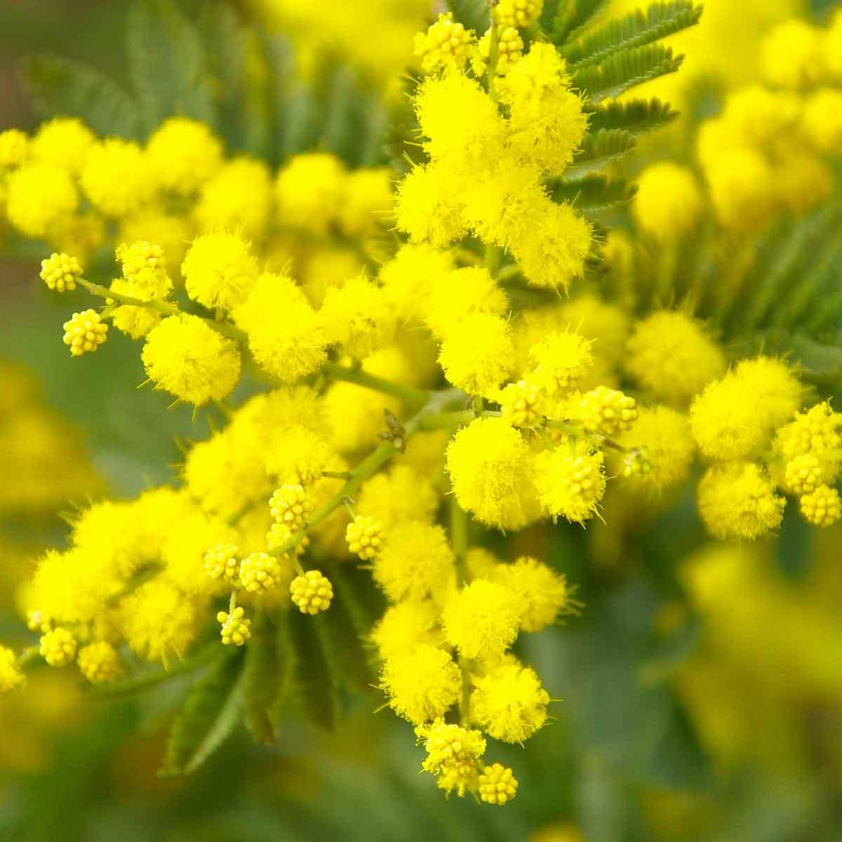 """La Mimosa il """"giallo"""" della donna"""