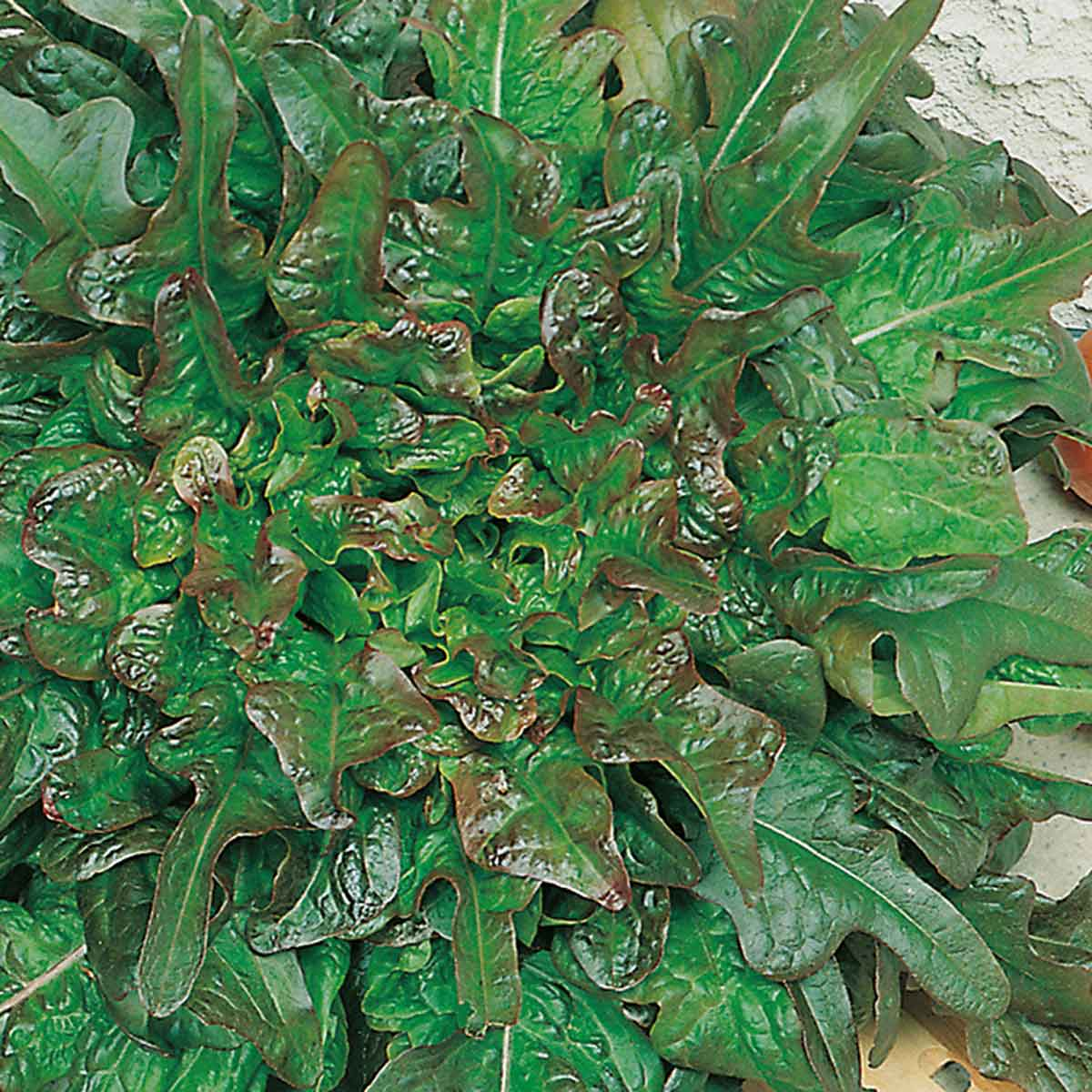 Lattuga barba dei frati rossa Hussarde in pack da 9 piante