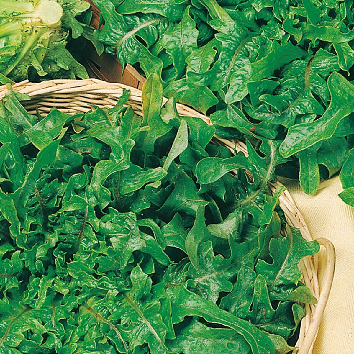 Lattuga barba dei frati verde Berenice in pack da 9 piante