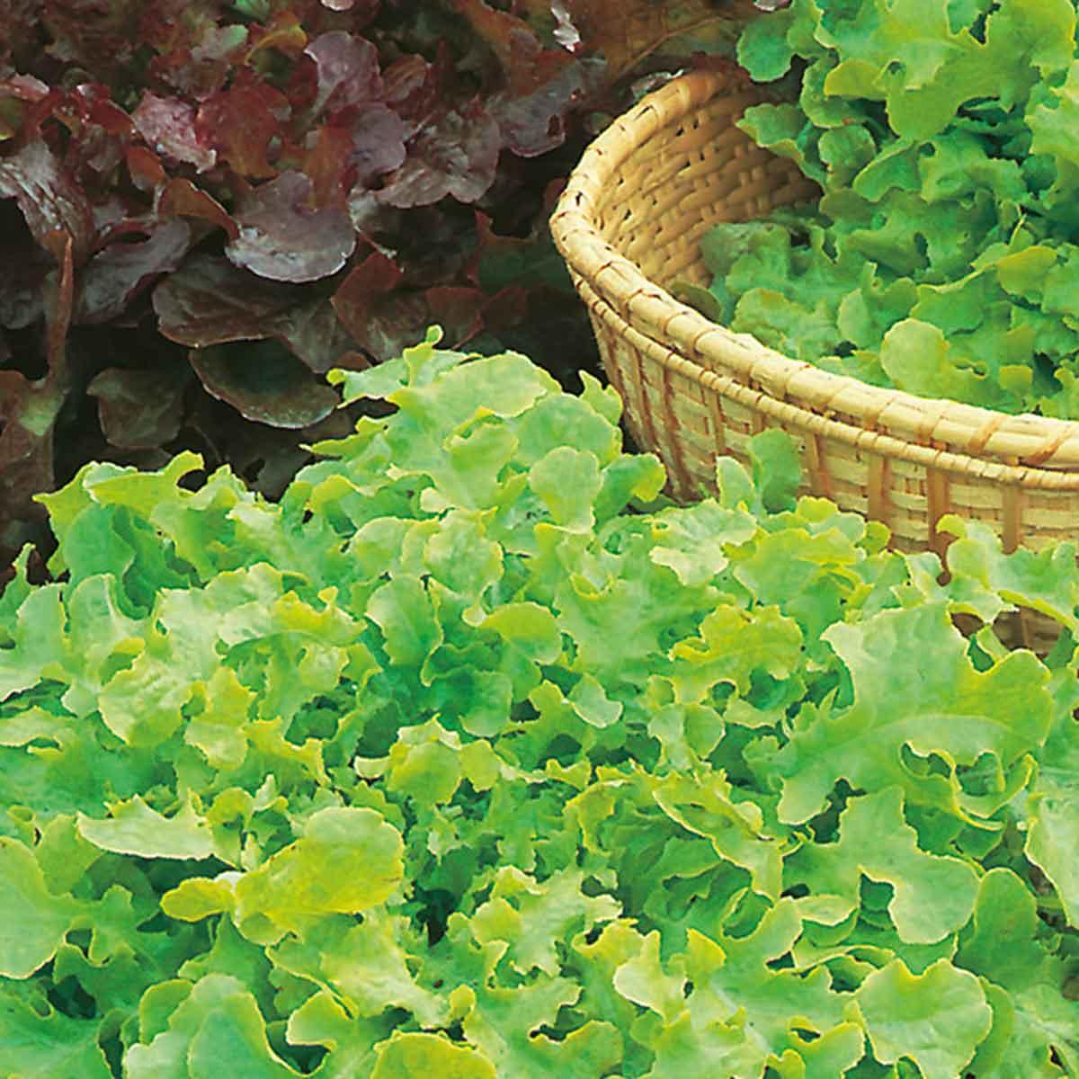 Lattuga foglia di quercia mix Panisse/Eluarde in pack da 9 piante