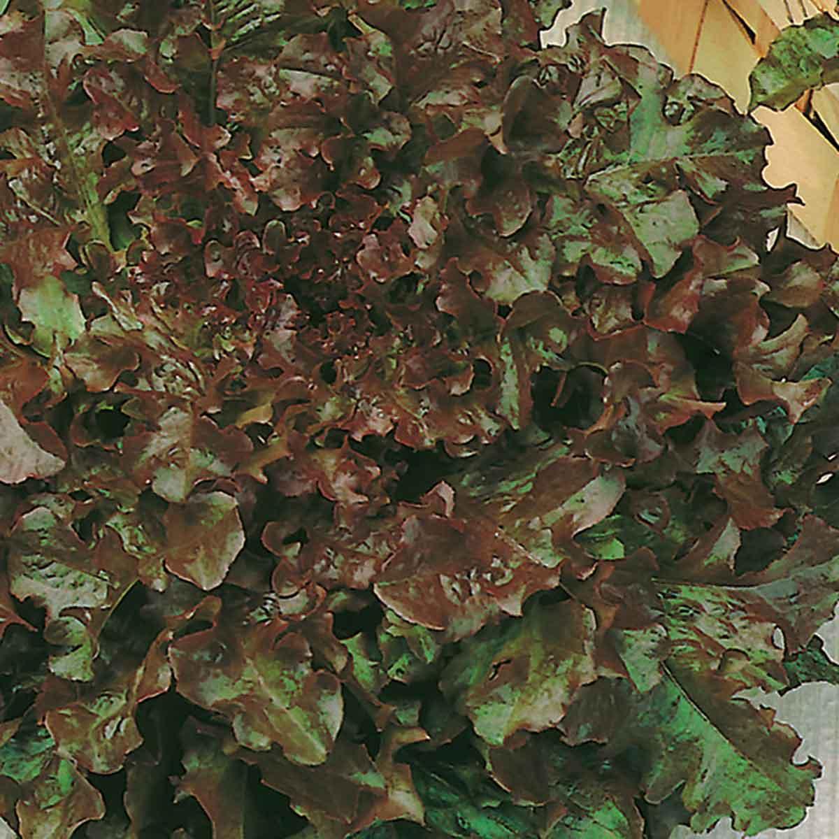 Lattuga gentilina rossa Redial in pack da 9 piante