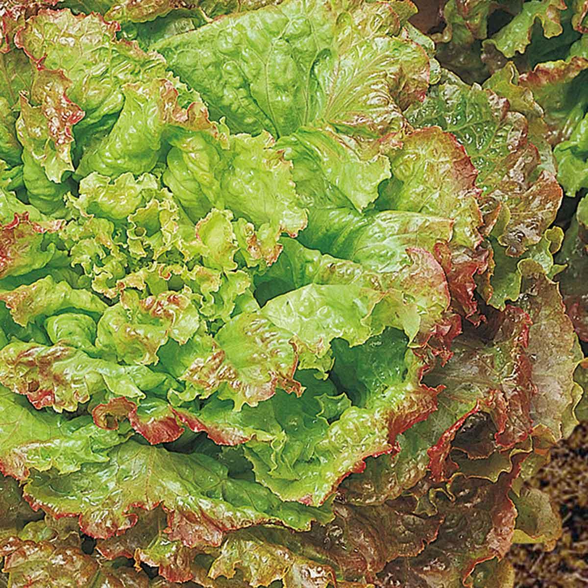 Lattuga rossa di Trento Ubriacona in pack da 9 piante