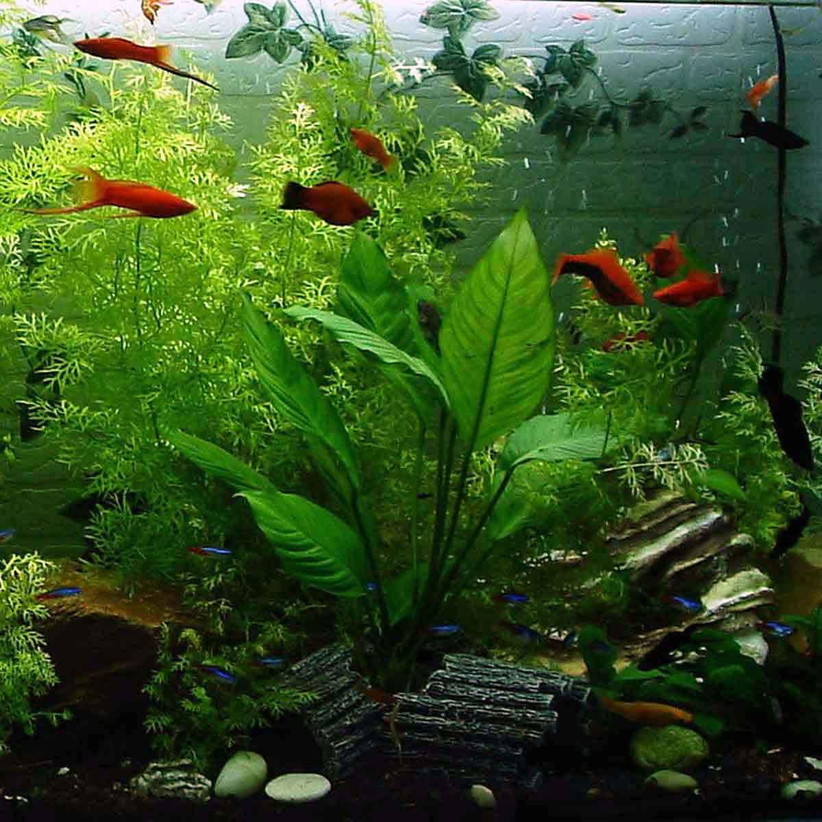 Poecilidi i pesci facili da riprodurre
