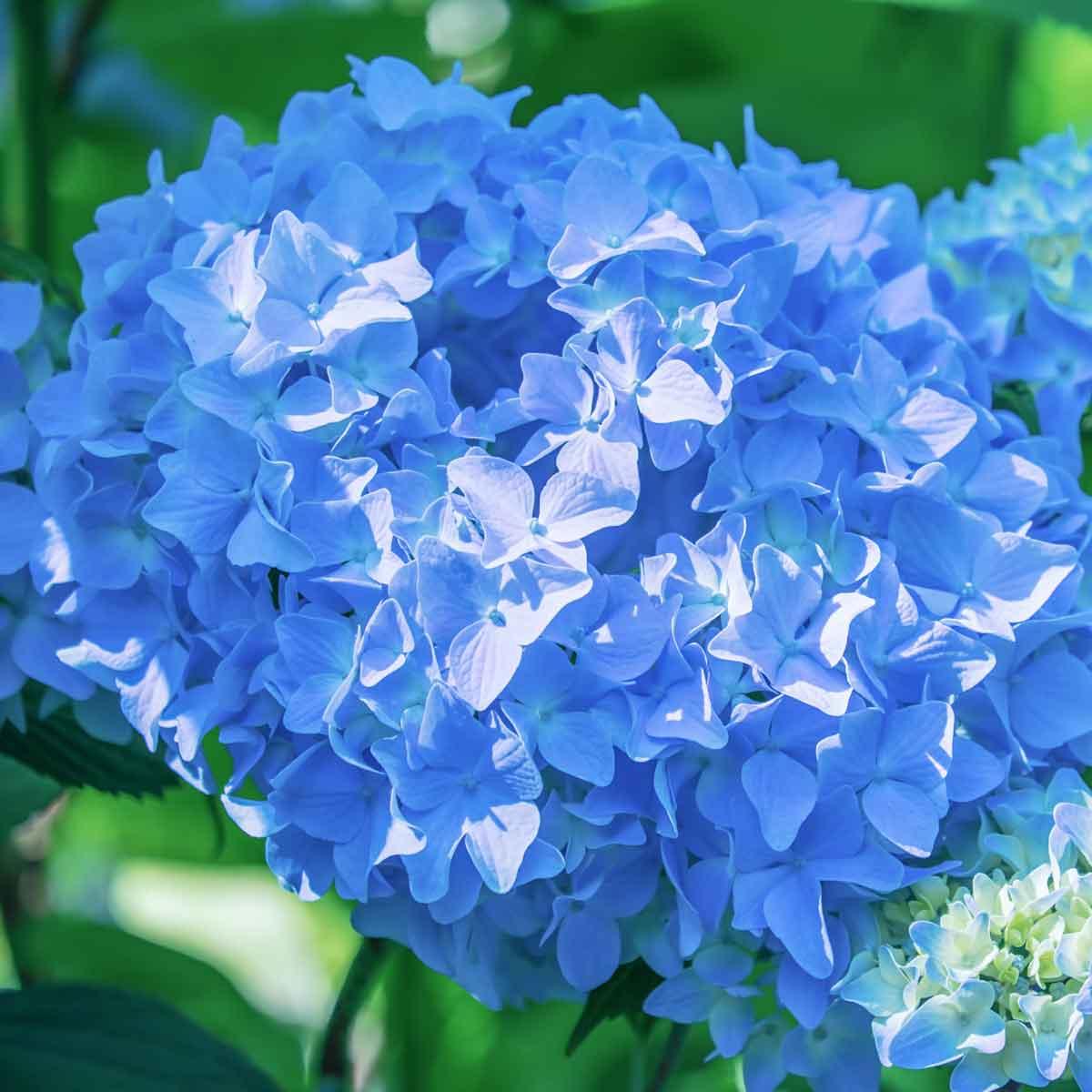 Ortensia o Hydrangea in varietà