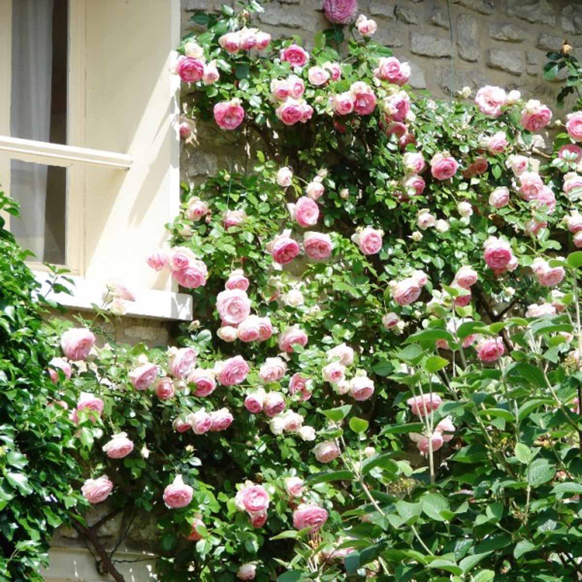 Rose Rampicanti in varietà