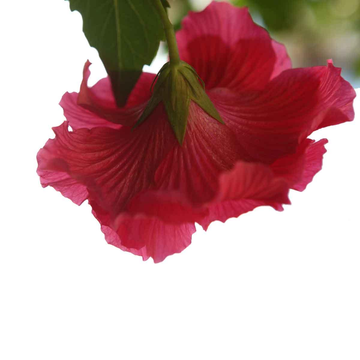 Hibiscus in varietà a fiore doppio o semplice