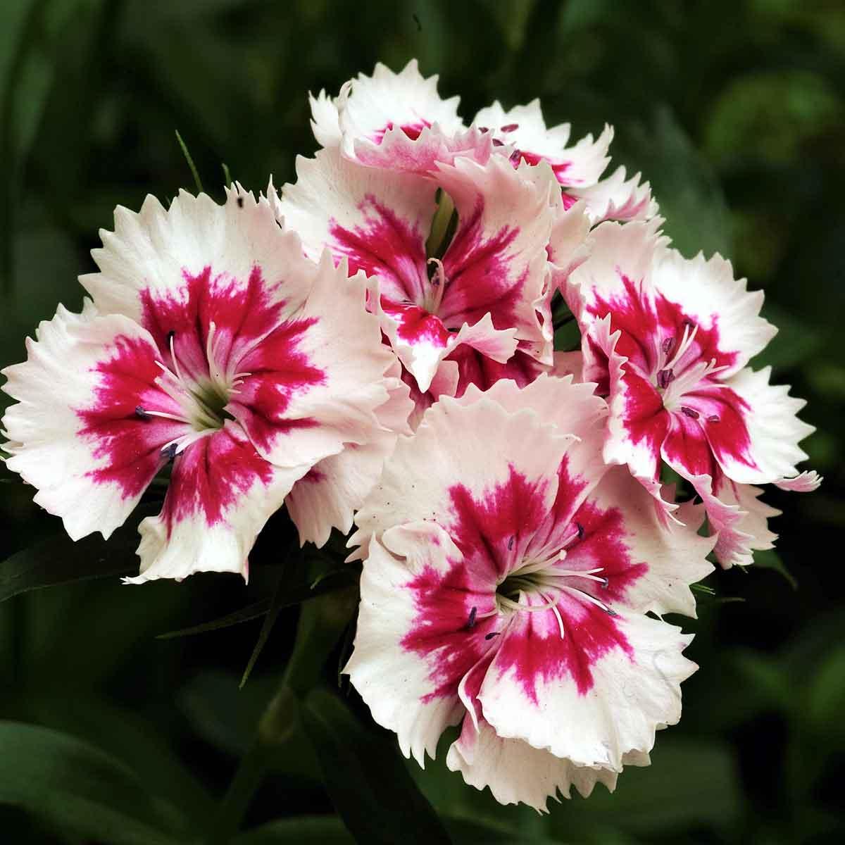 I fiori screziati? Un regalo… dei Virus