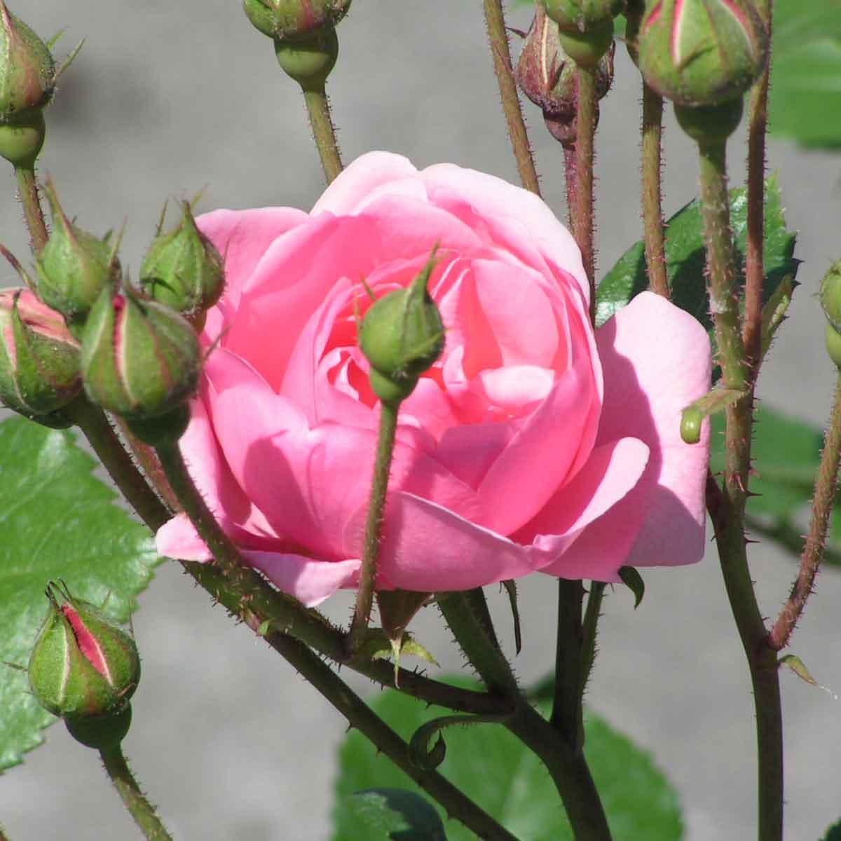 Rose ad Alberello in varietà
