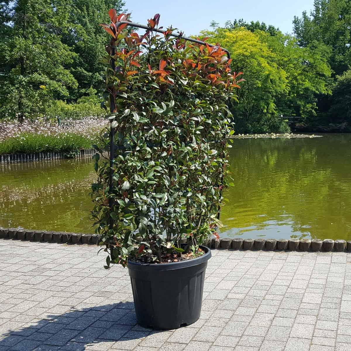 Barriere naturali – distanziamento con la Photinia Red Robin Compacta