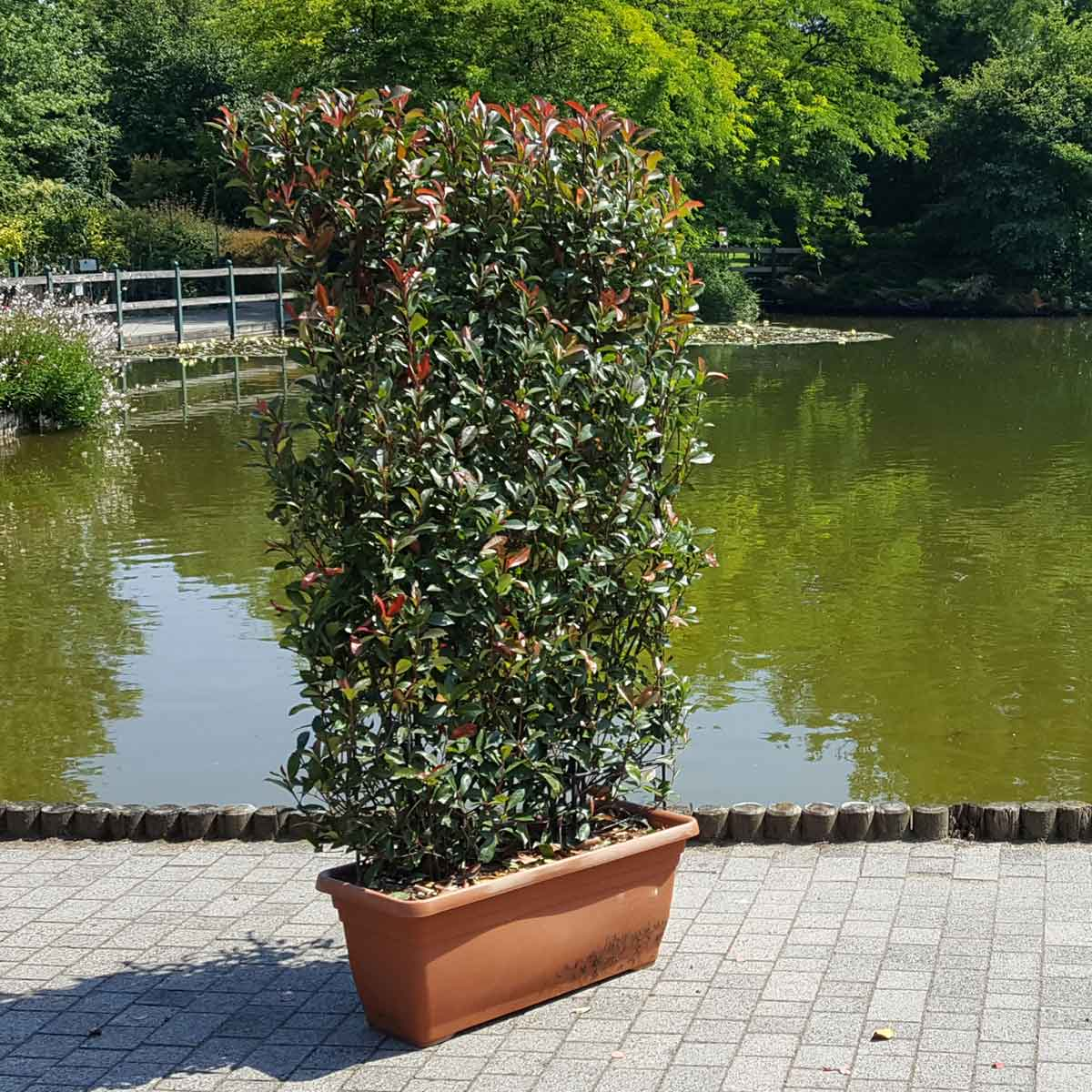Barriere naturali – distanziamento con la Photinia Red Robin a spalliera