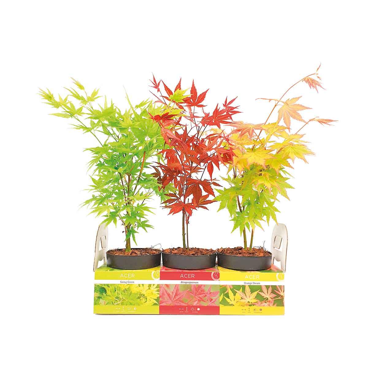 Aceri in Pack da 3 piante