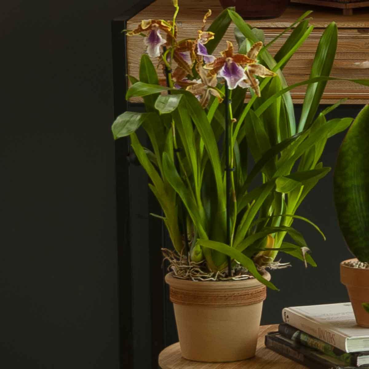 Orchidee a 2 rami in varietà