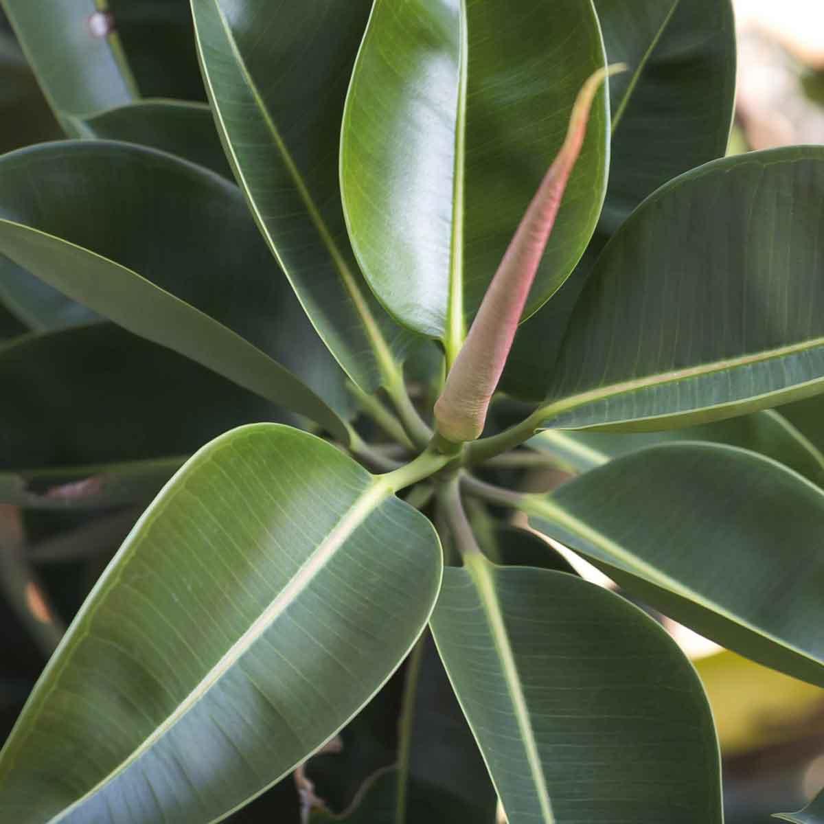 Ficus in varietà