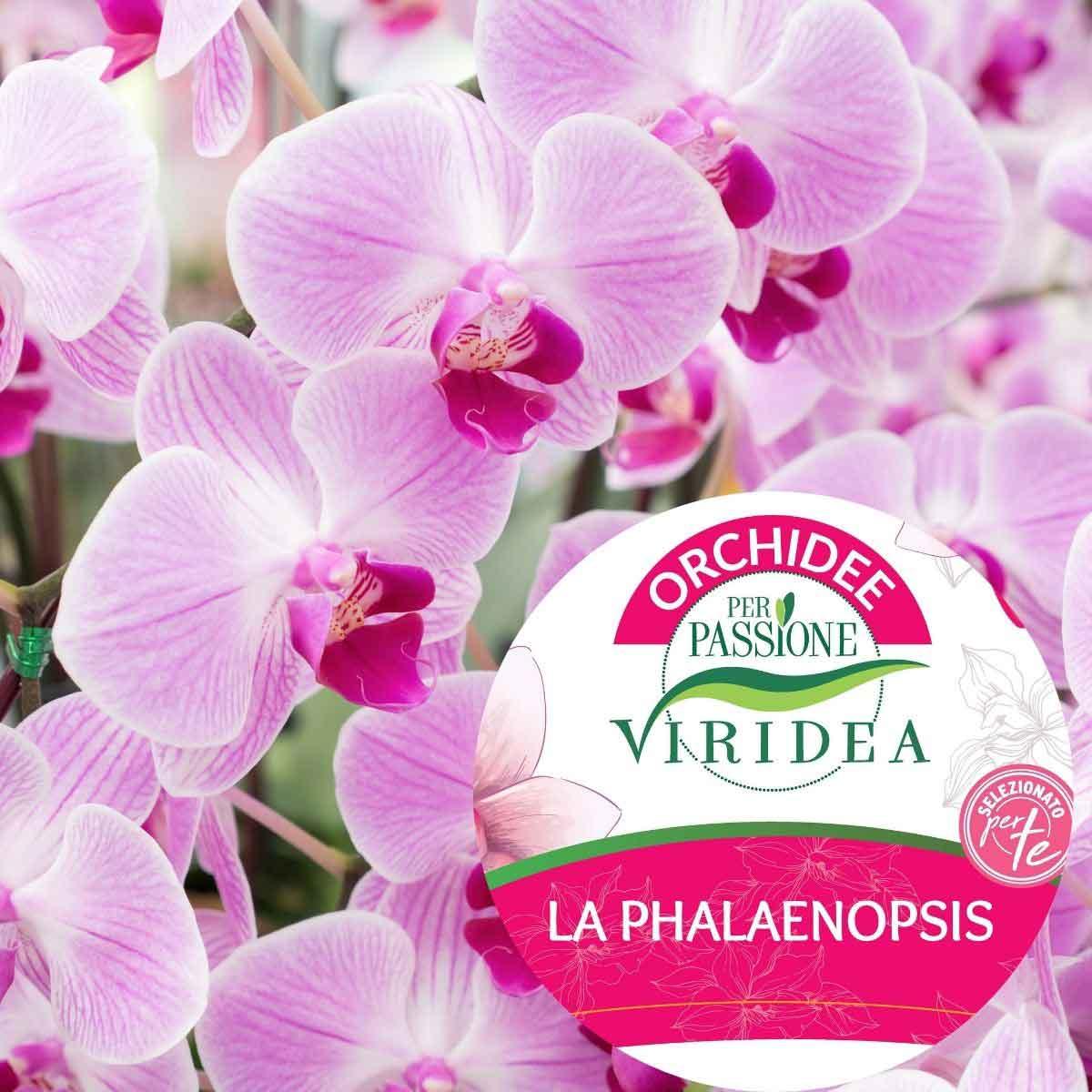 Per Passione – Orchidea Phalaenopsis Multiflora