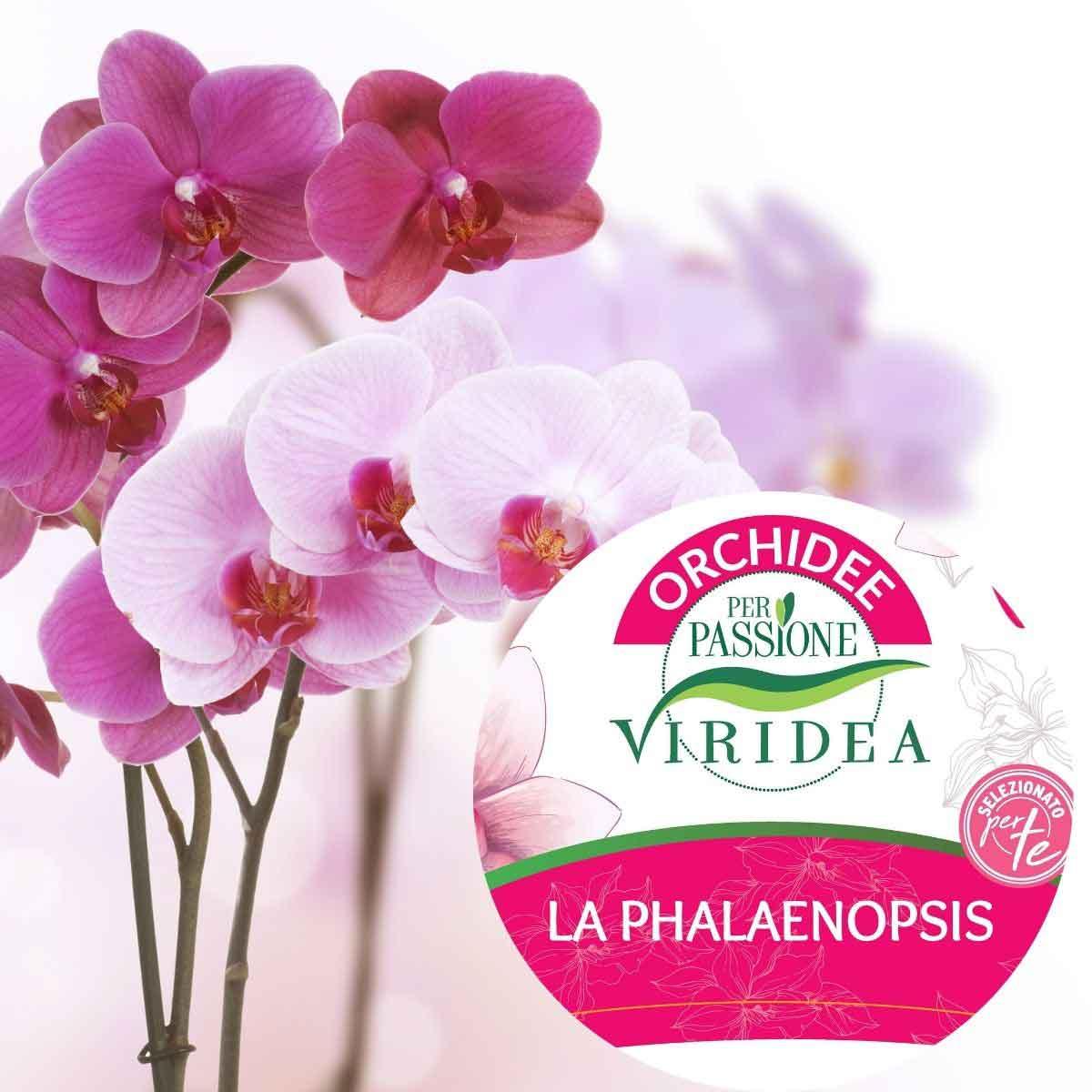 Per Passione – Orchidea Phalaenopsis a due rami