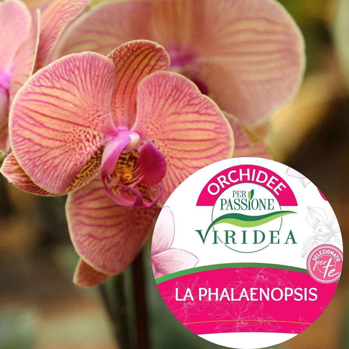 Per Passione – Orchidea Phalaenopsis a uno stelo ramificato