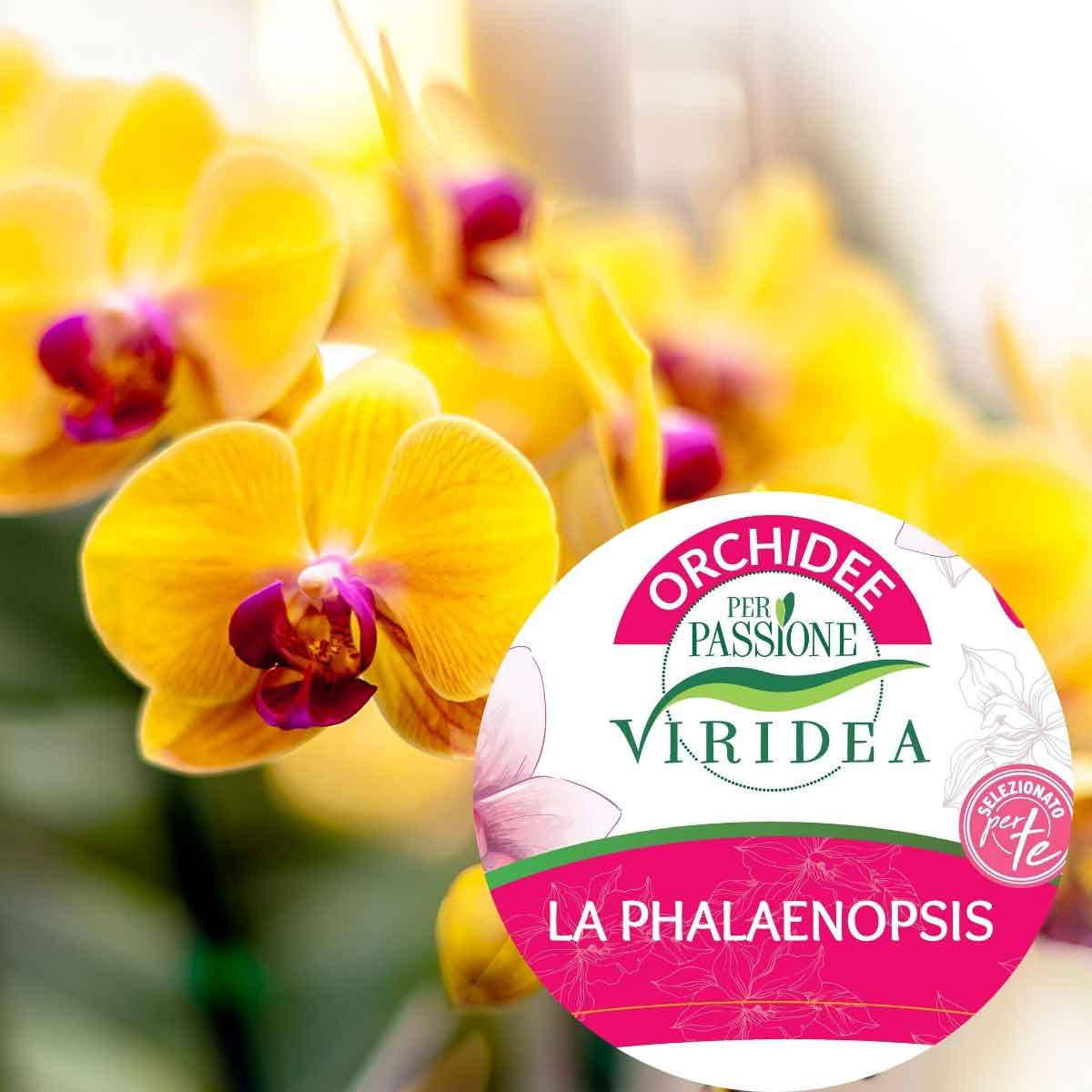 Per Passione – Orchidea Phalaenopsis extra a due rami