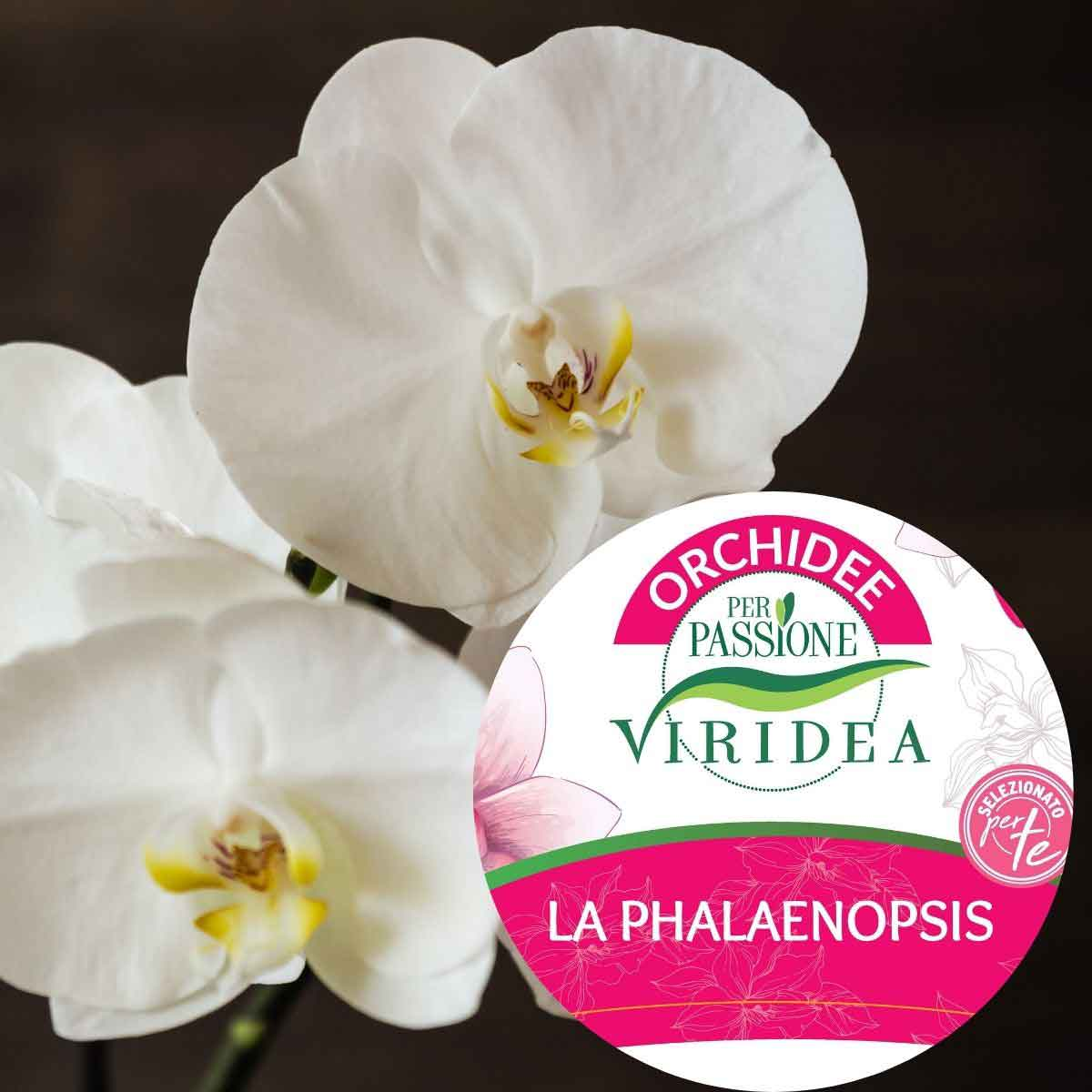 Per Passione – Orchidea Phalaenopsis extra a tre rami