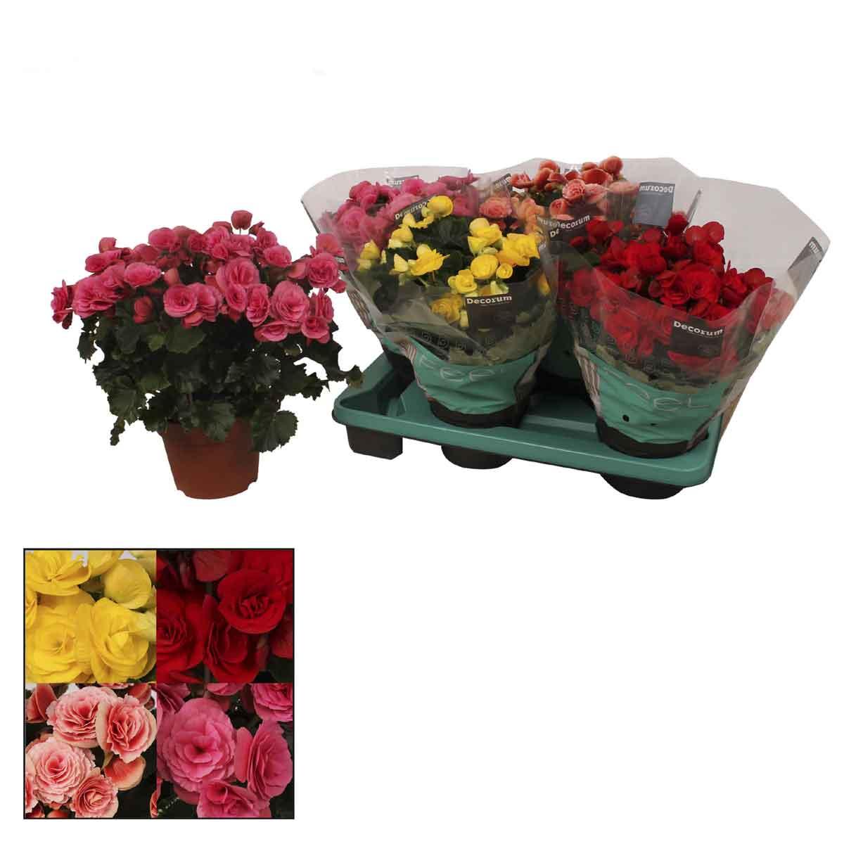 Begonia a fiore doppio