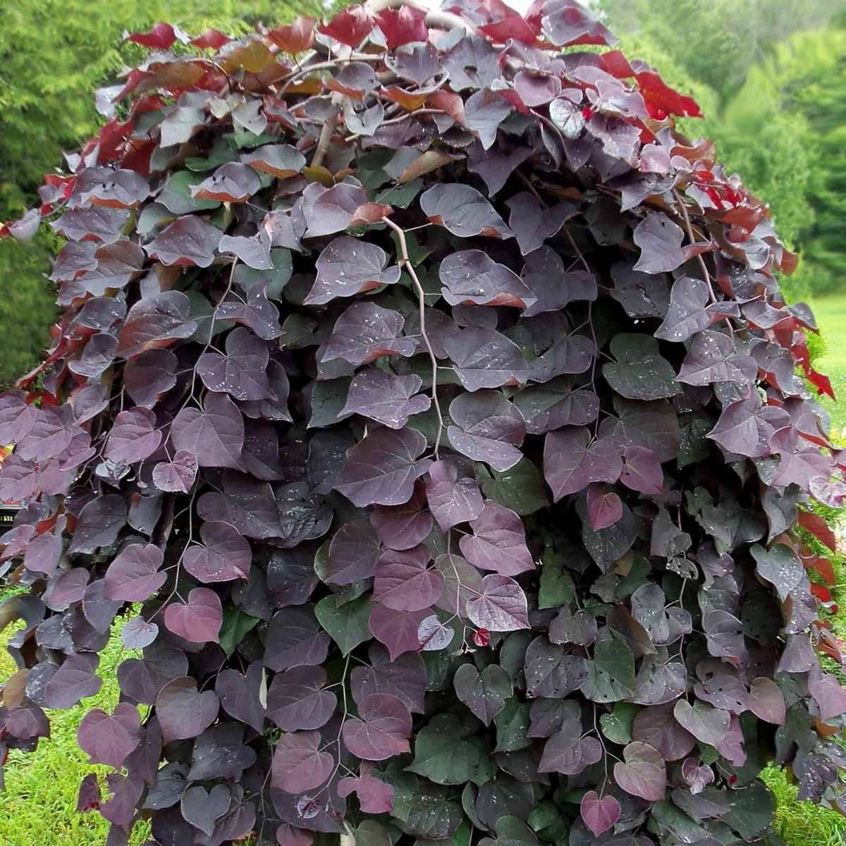Cercis Canadiensis Red Force