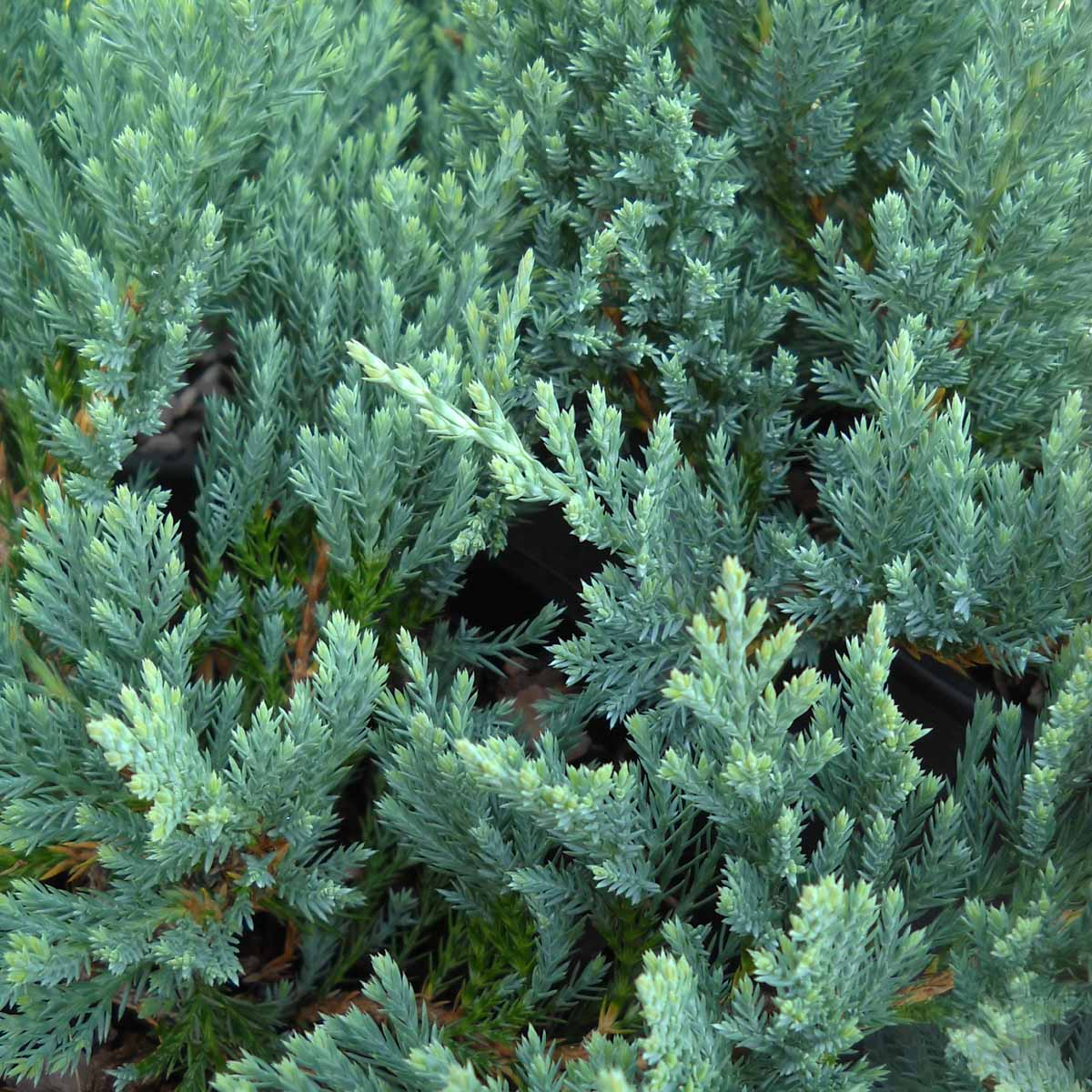 Juniperus Orizzontalis Blue Chip