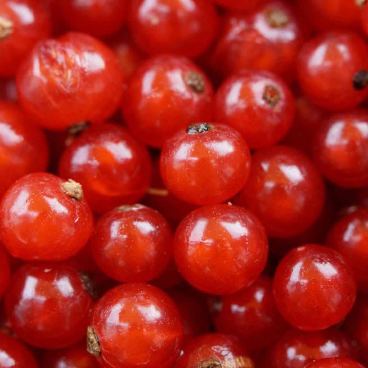Ribes precoce rosso