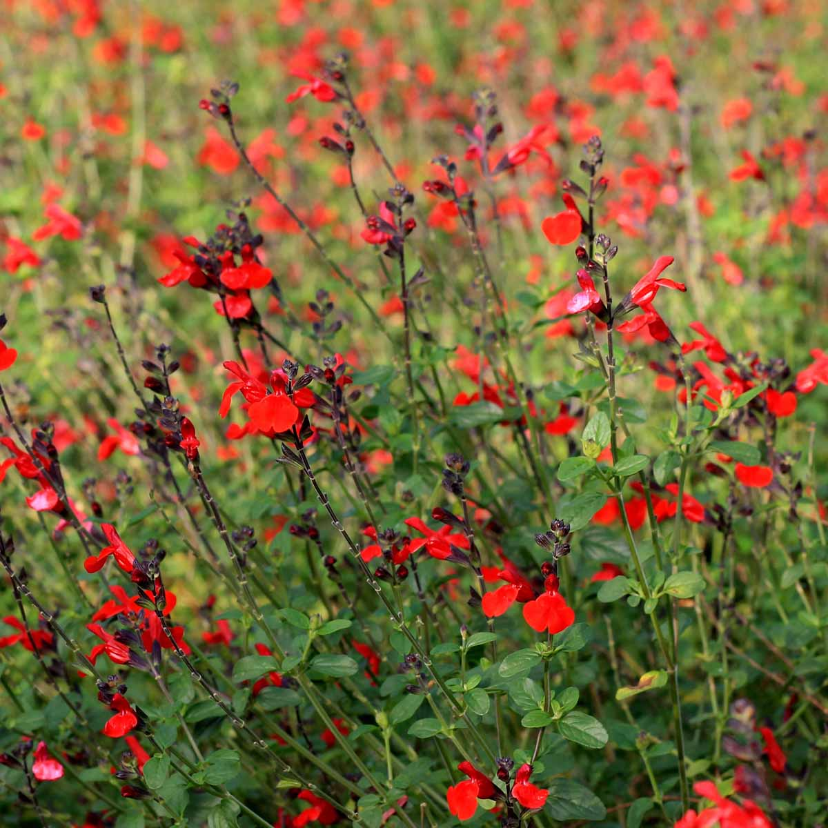 Salvia da fiore in varietà