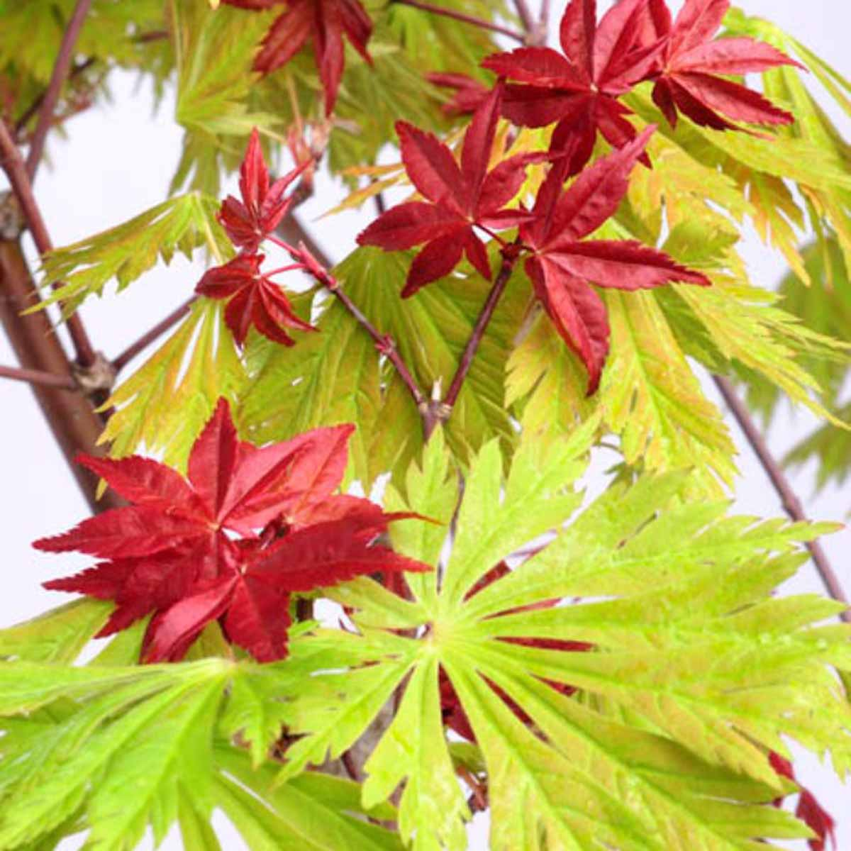 Acero palmatium in varietà
