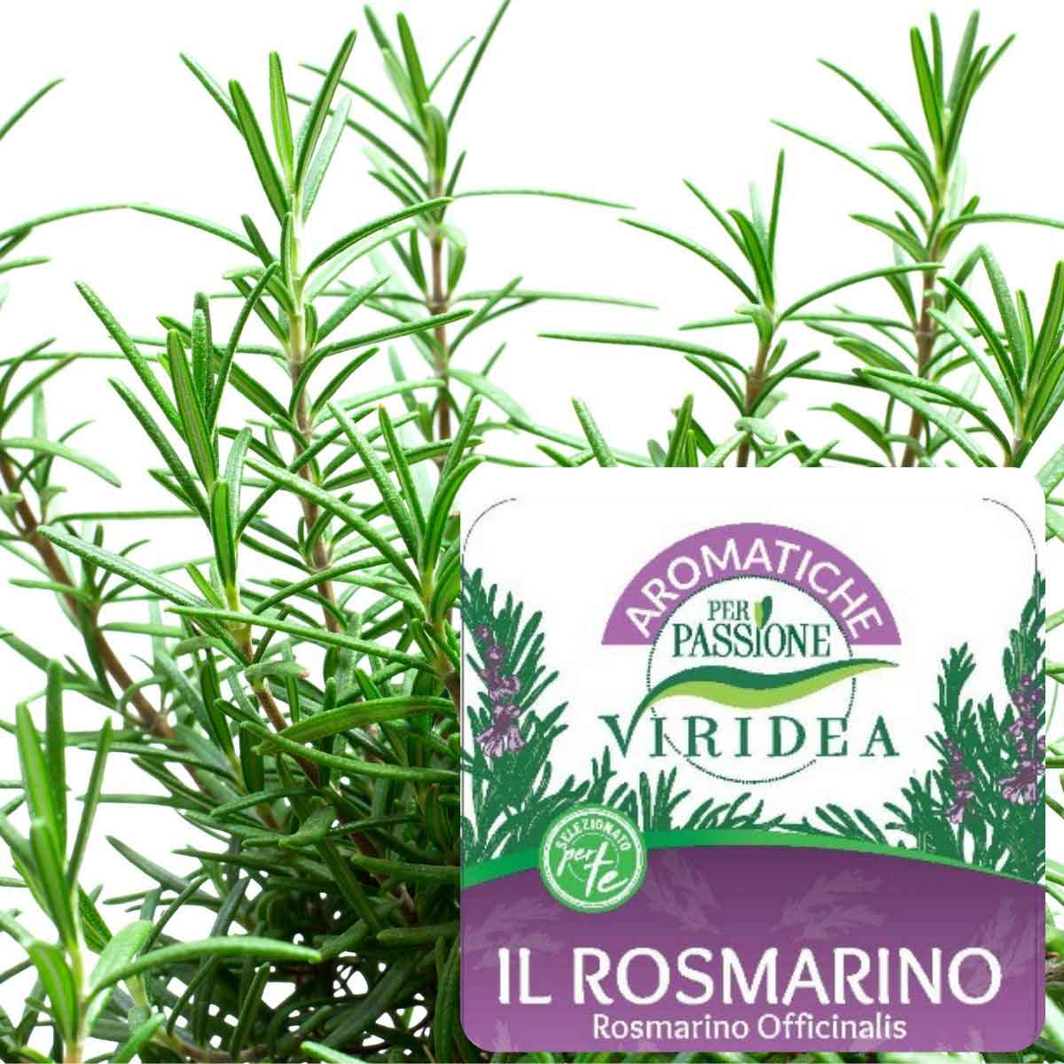 Aromatiche per Passione – Rosmarino
