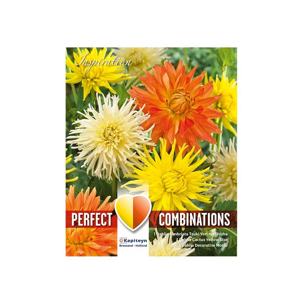 Dahlia Perfect Combinations: bianco-giallo-arancione (3 tuberi)