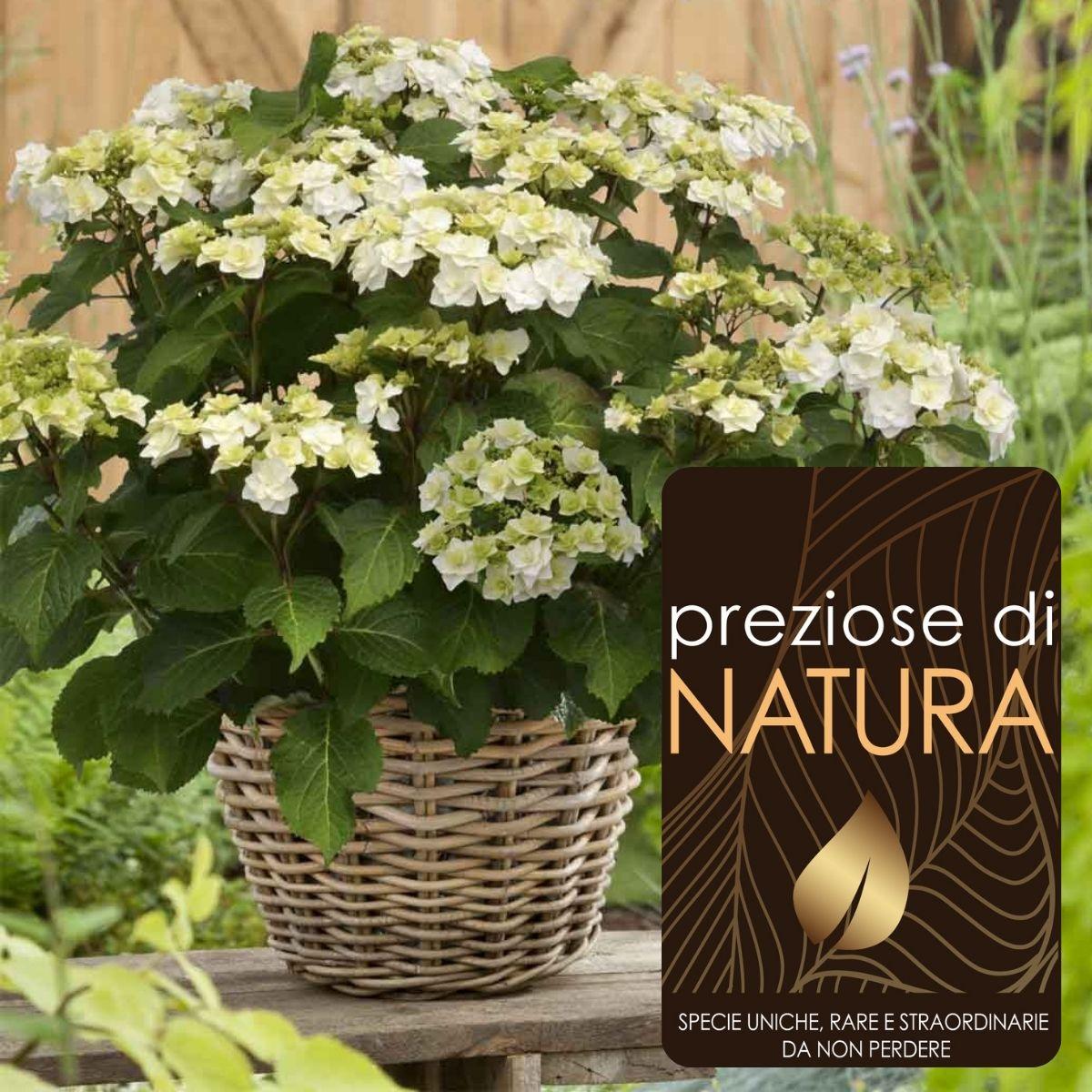 Preziose di Natura – Ortensia Doppio Bianco