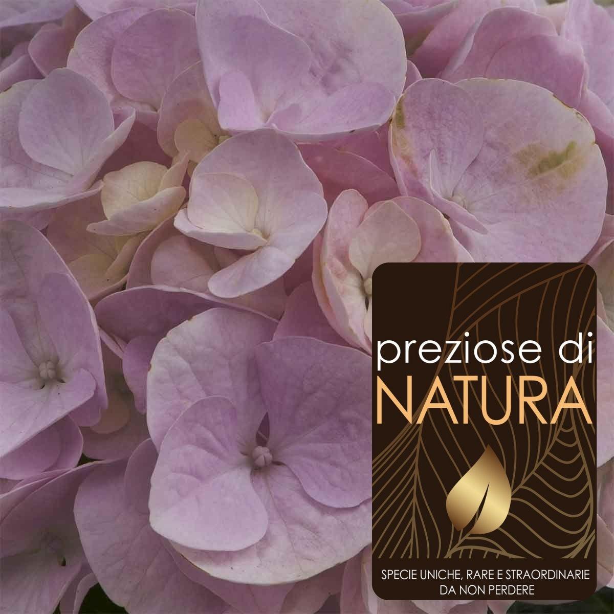 Preziose di Natura – Ortensia Rembrandt Elegant Rosa